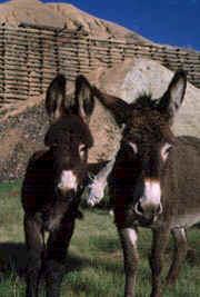 20060519120546-burro.jpg
